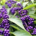 beautyberry in fall