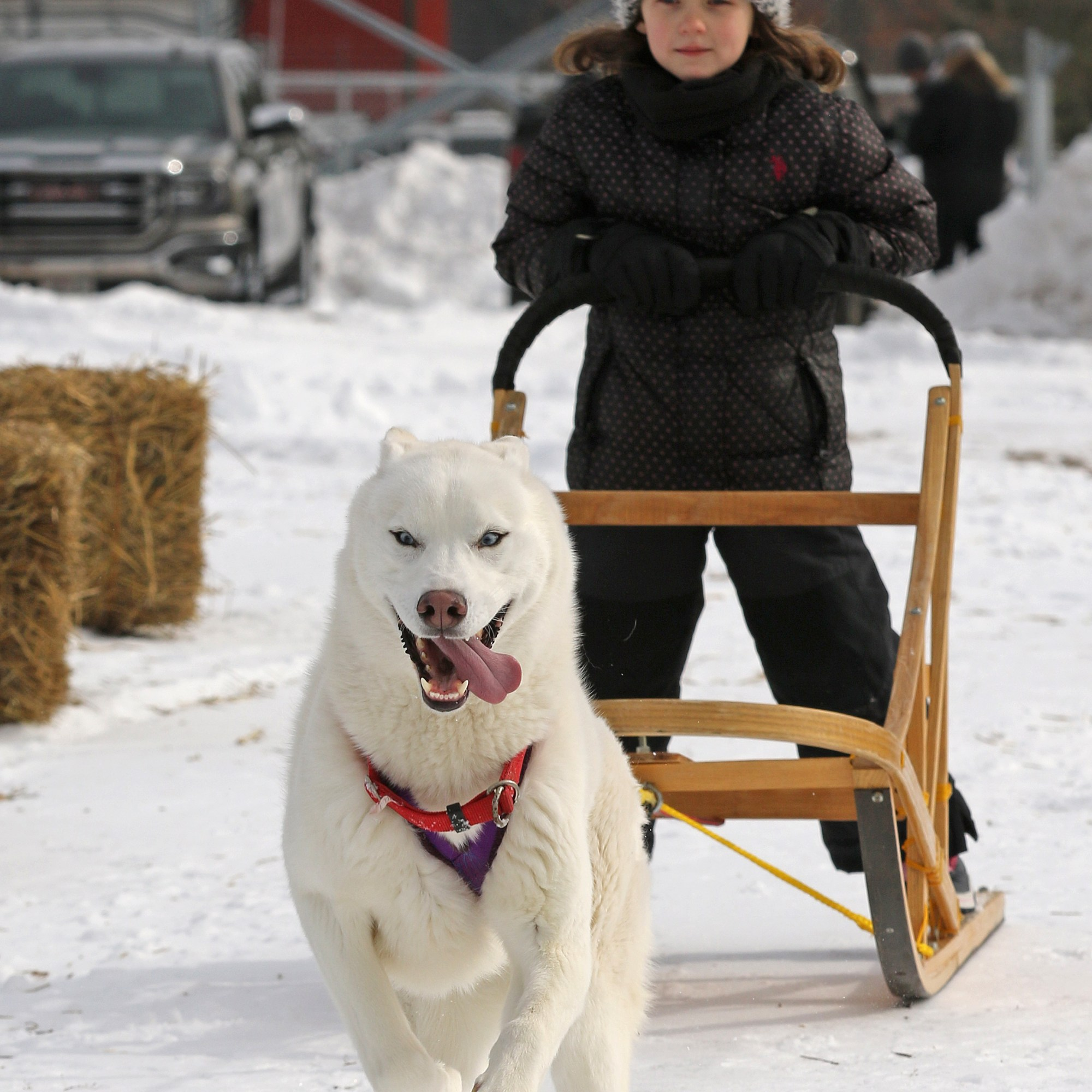 Sled dog with a youth on the sled behind the dog as dog runs for finish line