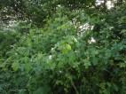 Briar rose in old hedgerow