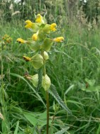 Yellow rattle - grassland
