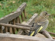A young chaffinch
