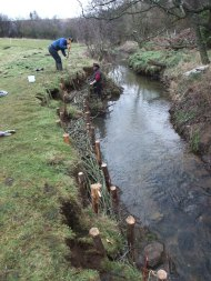 Esk tributary - using natural willow to stabilise the watercourse bank for the long term.
