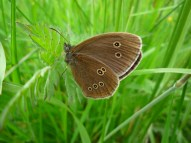 2014-06-30 Sutton Bank - Ringlet butterfly - by Kirsty Brown
