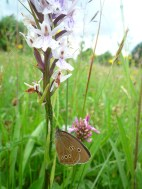 2014-06-30 Sutton Bank - Ringlet butterfly on orchid - by Kirsty Brown
