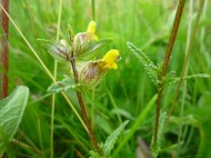 2014-06-30 Sutton Bank - Yellow Rattle - by Kirsty Brown