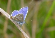 Common Blue butterfly - copyright NYMNPA.