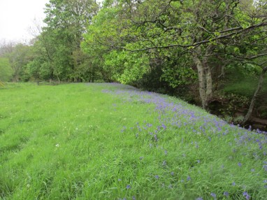 Bankside bluebells in Bilsdale - indicate previous wooded habitat. Copyright NYMNPA.