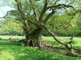 Nationally significant Veteran Tree resource - alder in Duncombe Park. Copyright NYMNPA.