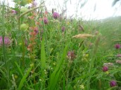 Species rich grassland (creation project) near Hawnby,. Copyright NYMNPA.