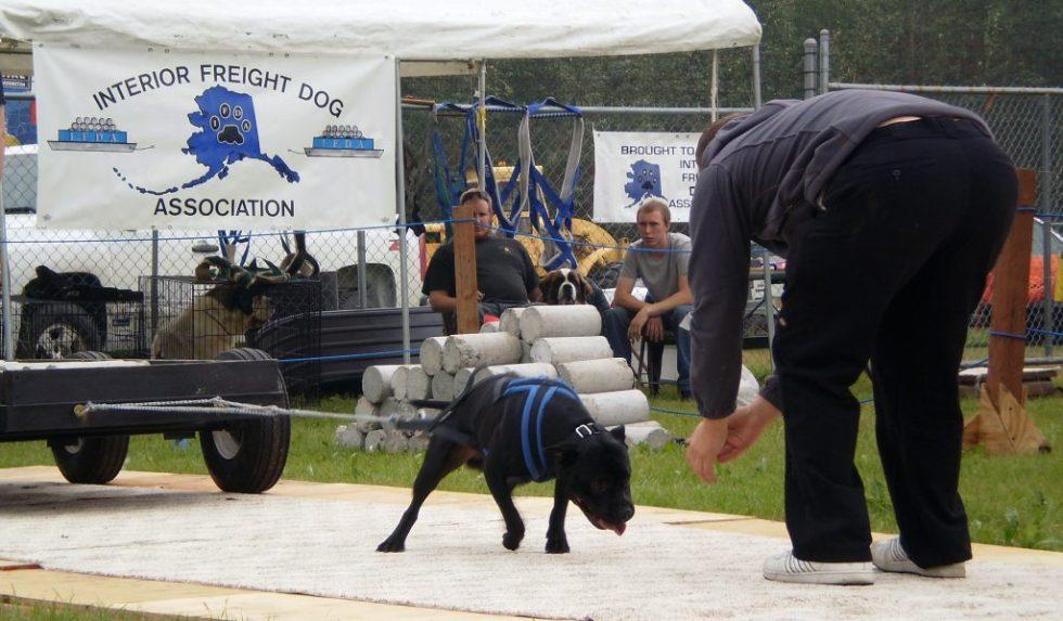 Vekttrening for hunder, trekking av tung slede