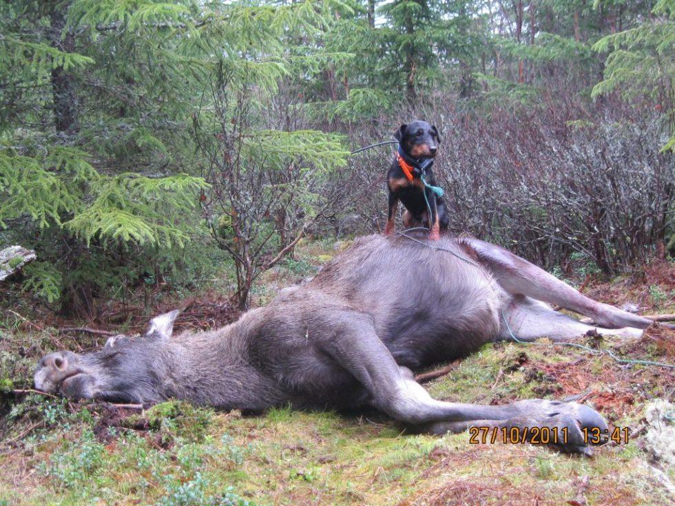 Tysk jaktterrier på elgjakt oppå en død elg
