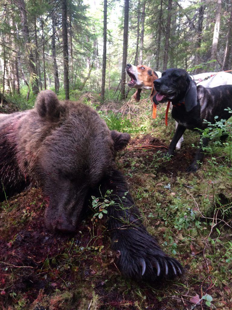 Treeing Walker Coonhound bjørnejakt los