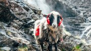 4 sheep took Facebook by storm this summer