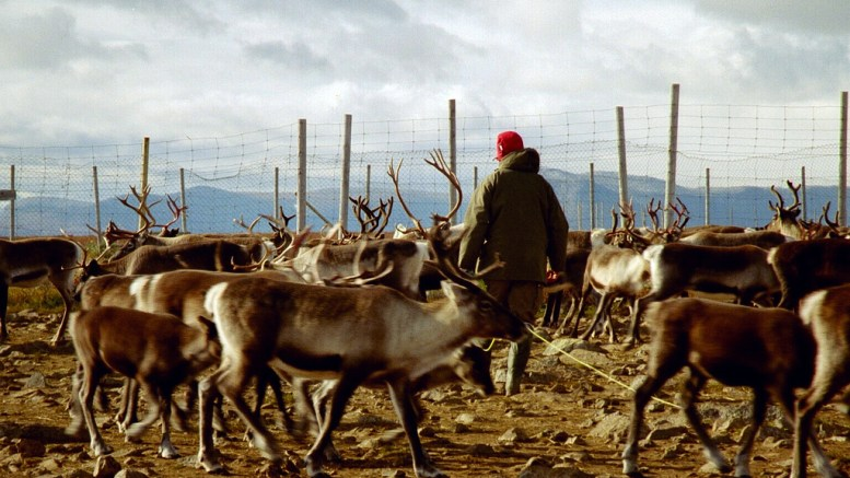 Sami people Reiindeer