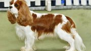 King Charles Spaniel dog breeding