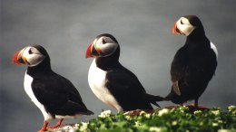 Puffin Chicks