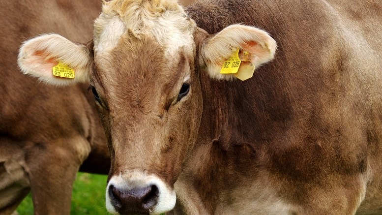 Cow Beef Tax slaughter