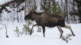 Wildlife Management moose Elk