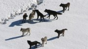 Wolf Pack Culling Wolf Hunt
