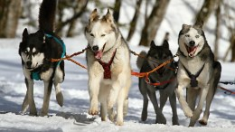 Iditarod Dog sled Anchorage Nome Alaska