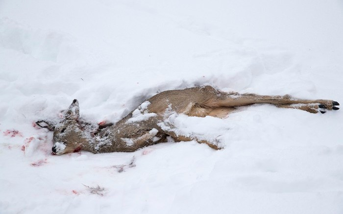 deer killed