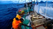 Profitable cod fishing at Jan Mayen