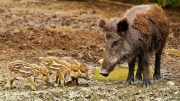 Wild boars African swine fewer wild boar