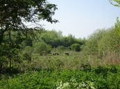 Our Dexters grazing the marsh helping us to improve the wildlife value of this site.