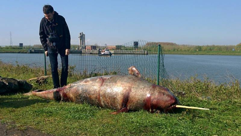 Narwhal found in Belgium, photo by Bornem local authority