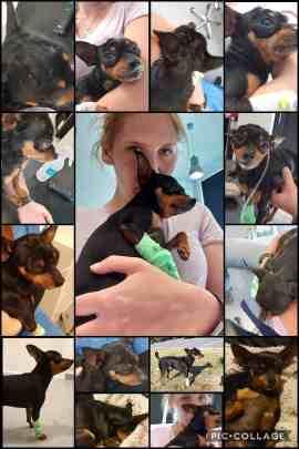 Allergisk reaksjon på vaksinering Hunden er full av kuler, hevelser og er hoven. Innlagt veneflon og får medisinsk behandling