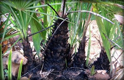 El palmito lanza sus hojas y resiste los incendios