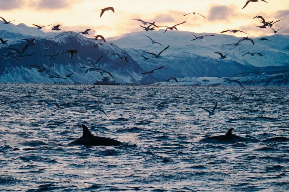 Norvège : à la rencontre des baleines et des orques