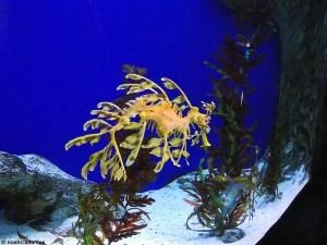 Sea Horse at the Singapore Aquarium