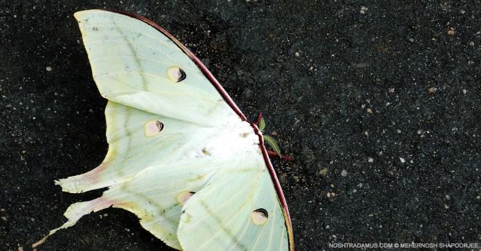 Giant Butterflies of Nagaland