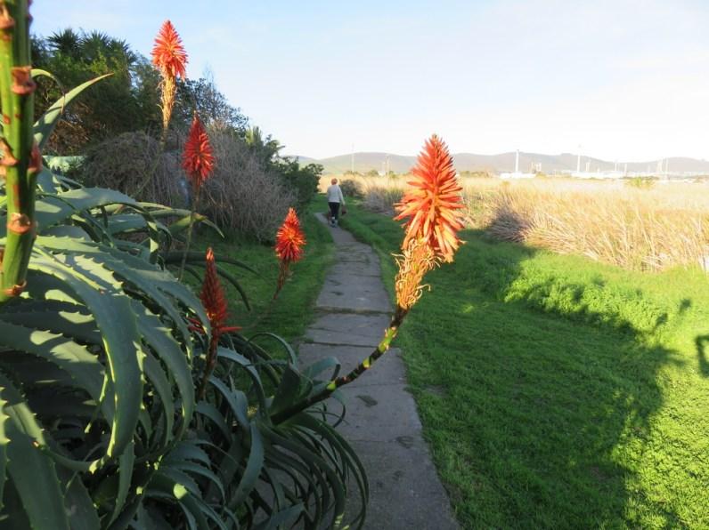 Krantz Aloe (Aloe arborescens)