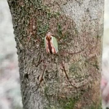 Marsh Spider