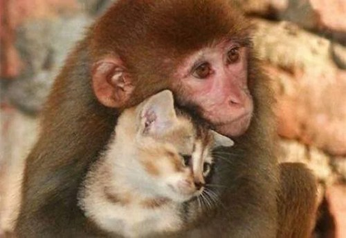 Amour-chat-et-singe