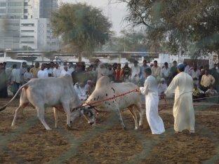 Bullfighting_Fujairah_2