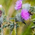 Purple Scottish Thistle being pollinated by a bee