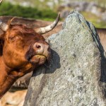 Cow rubbs jowl on 5 thousand year old Scottish standing stone.