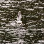 Seagulls snag the bait set for an Eagle