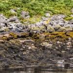 Harbor Seals in the Hebrides
