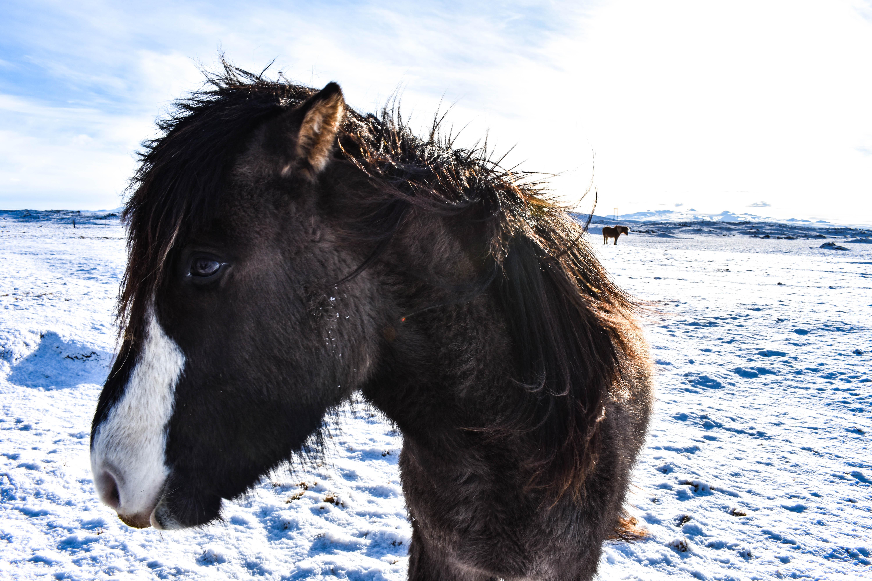caballos-islandeses