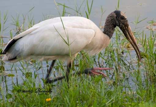 #11 Wood Stork