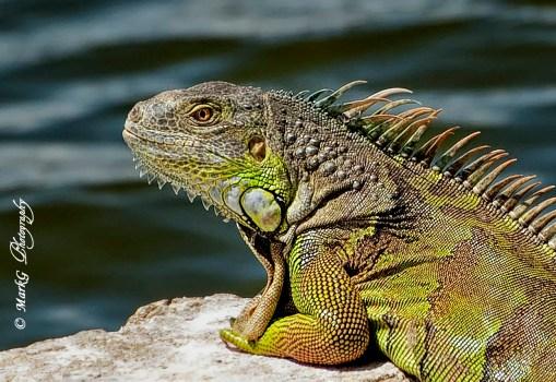 #27 Iguana Close up