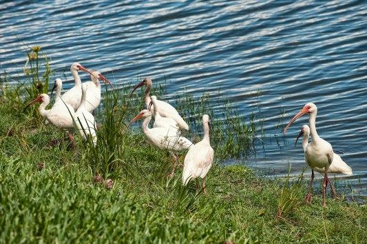 #28 White Ibis
