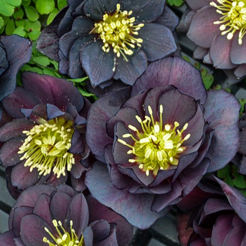 Dark & Handsome Hellebore Inspiration Photo