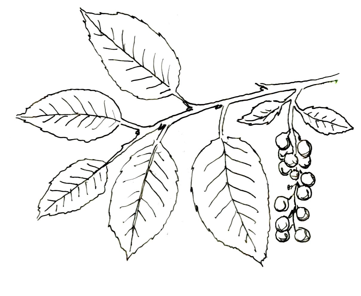 Common Chokecherry Prunus Virginiana