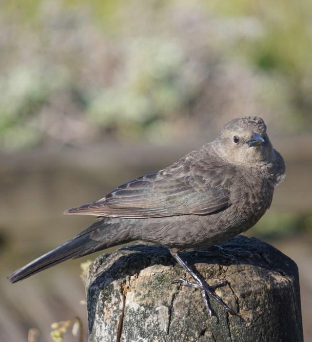 Bird Boardwalk Cambria