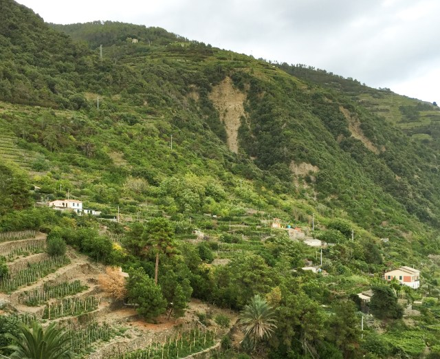 Terraced fields on the hillsides seen from Corniglia Cinque Terre Italy